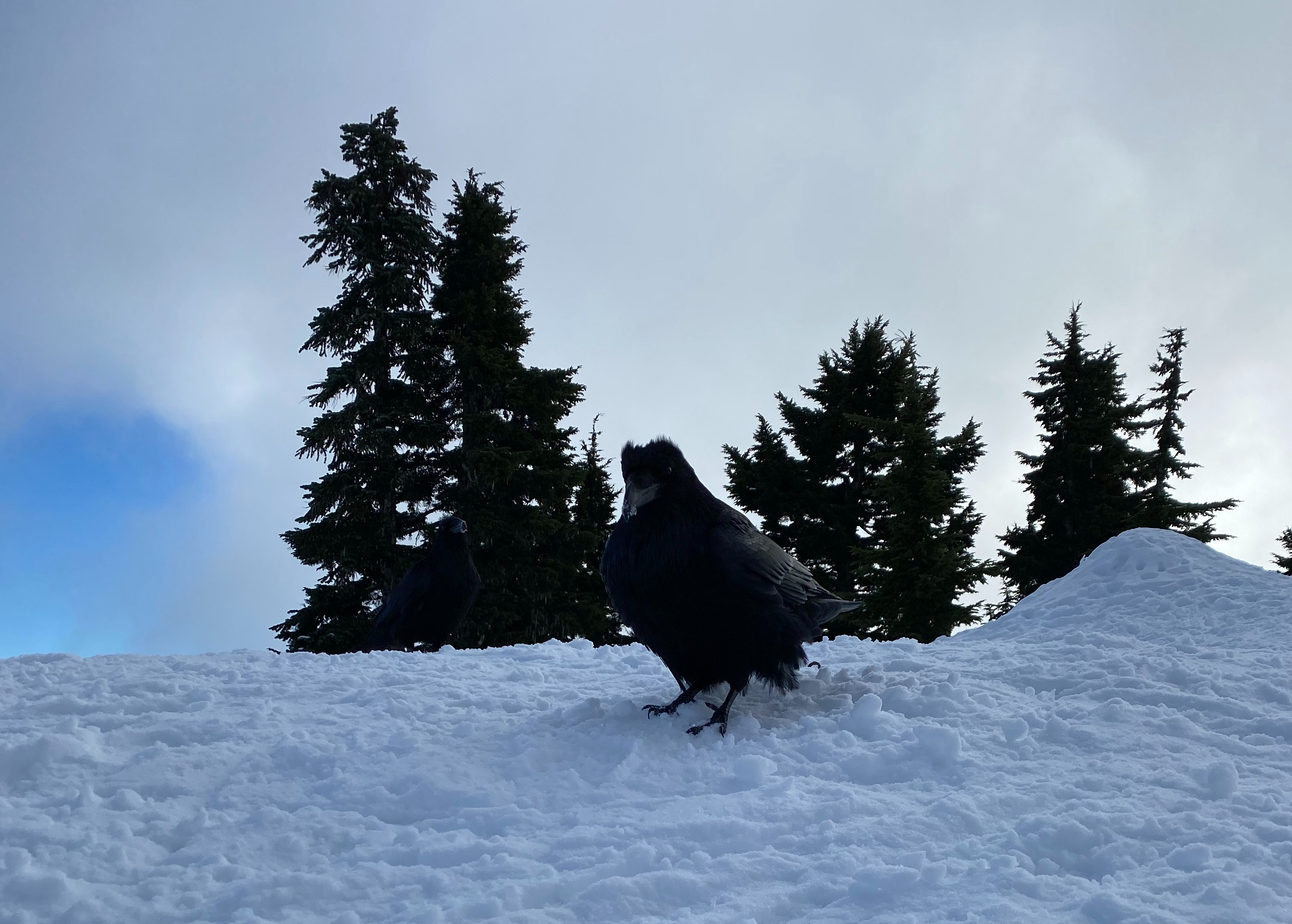 Raven in British Columbia