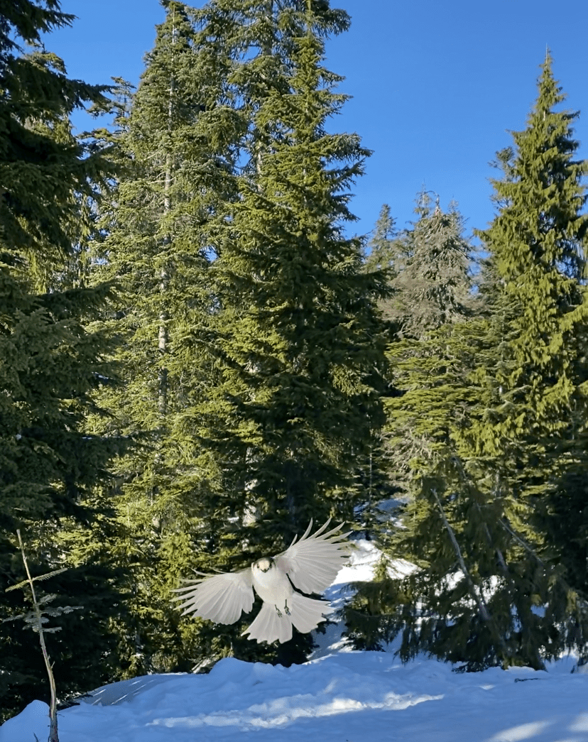 Grey Jay flying